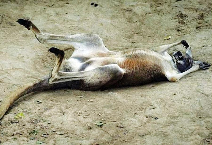 Visitantes matan canguro a pedradas