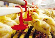 Crianza de pollos
