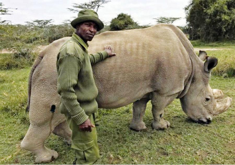 rinocerente blanco