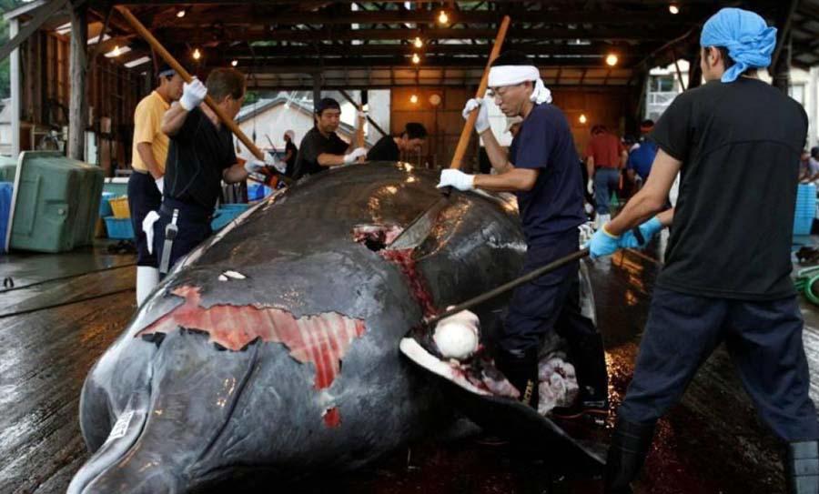 Caza comercial de ballenas