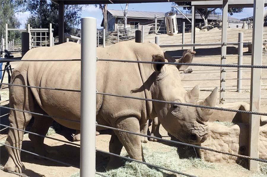 Niña cae a jaula de rinocerontes salvajes