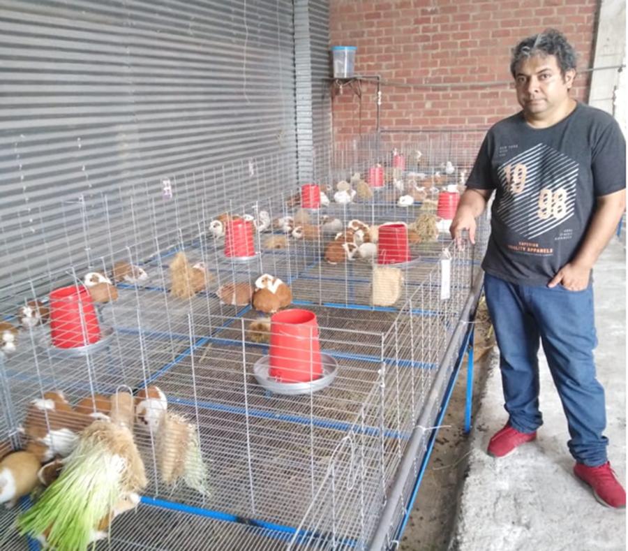 Cría de cuyes en instalaciones modernas para mejores resultados