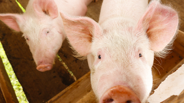 Prohíben ingreso de mercancías de origen porcino al Perú