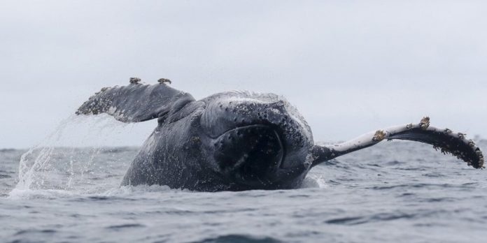 Foto de archivo de una ballena jorobada. (EFE/José Jácome)