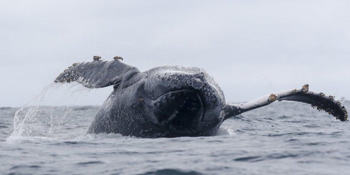 Hombre fue tragado por una ballena y salió vivo
