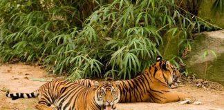 Leones y tigres del zoológico de Washington contrajeron Covid-19