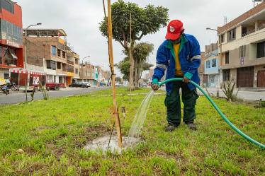 Plantan 350 árboles en Comas por ampliación del Metropolitano